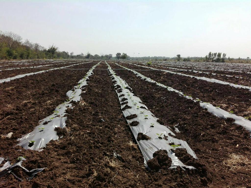 Pueraria Mirifica Farm By Abelherb.com